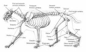 Cat Skeletal System - The Cat Body